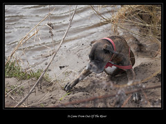 It Came From Out Of The River (roddersdad) Tags: dog boxerdog roderick febuary 2012 rivertrent petdogs canon1dsmkll canonniftyfiftylens wwwimagesbyclivecouk copyrightclivejmaclennan canonef50mm18mkll