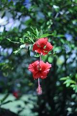 Amantes (II) (Vagner Eifler) Tags: flores brasil natureza flor riograndedosul cidreira