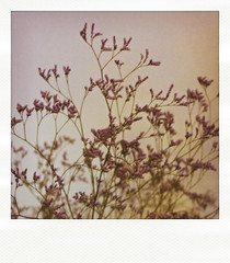 Colour of Lavand (soniafalchetto) Tags: flower fiori lavanda lavand polaroidaction soniachialastri