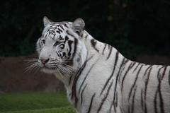 white tiger (Yangyu?) (Olaya Garcia) Tags: white blanco canon island eos tiger canarias lp tenerife canary tigris tigre whitetiger teneriffe loroparque panthera pantheratigris tigreblanco 1000d