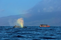 _DSC3966        1.7k (ChanHawkins) Tags: boats maui whales cory 2012 captaincorysultimatewhalewatch