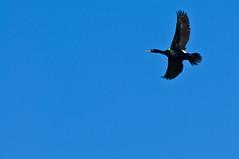 CannonBch080412_569 (LDELD) Tags: animal sand waves flight cormorant oregoncoast cannonbeach array greatnature