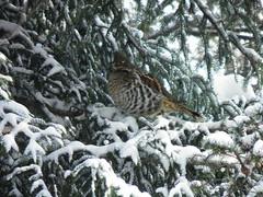 Partridge in a pine tree (NCprofessor2008) Tags: coth greatphotographers specanimal supershots avianexcellence fantasticwildlife dragondaggerphoto itswonderfulworld sunrays5
