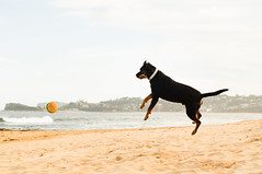 (danielle kiemel) Tags: ocean sea summer people beach dogs animals work landscape outdoors jump jumping funny happiness australia nsw rudi centralcoast 50mmf14 2012 terrigal wamberal daniellekiemel wamberalbeach nikond5000 kristenspets