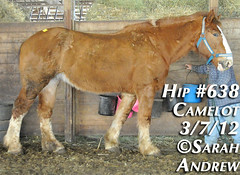 Hip #638 (Rock and Racehorses) Tags: amish belgian camelot draft workhorse feedlot ska0761