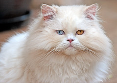 1935 (fpizarro) Tags: minasgerais yellow azul cat persian eyes blu mg amarelo gato belohorizonte whitecat bh persa persiancat gatopersa gatobranco fpizarro fizinho brancohite