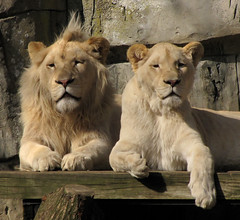 We're enjoying the sun! (Wilma1962*) Tags: zoo ngc lion lazy lui lioness whitelion dierentuin leeuwin leeuw ouwehandsdierenpark witteleeuw mygearandme mygearandmepremium mygearandmebronze mygearandmesilver mygearandmegold mygearandmeplatinum mygearandmediamond