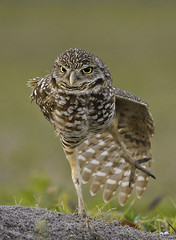 ... danced all night !!! (Larry Frogge Photography) Tags: bird nature florida stretch owl burrow burrowing