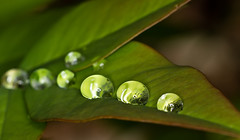 nandina water drops (loco's photos) Tags: macro nature leaves rain leaf pentax dew kr waterdrops nandina heavenlybamboo panagor9028
