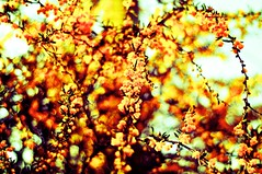 Sunset Bokeh (Fuji Superia) Effect (Ryan J. Nicholson) Tags: life flowers trees sunset