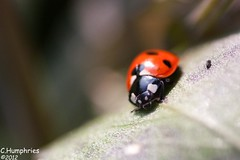 LadyBird (--CWH--) Tags: summer nature insect leaf spring wildlife ladybird chrishumphries