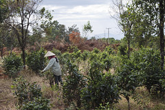 zIMG_0905+2 (Kiwi San) Tags: tea laos th boloven