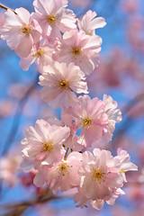 Jardin du Luxembourg (marianboulogne) Tags: park pink flowers blue light sky sun paris france flower lights petals spring europa europe sony jardin explore parc pary francja explored