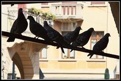 __   \ \ / / / ___  (Shot__3010 F) (Ziozampi) Tags: primavera fauna canon eos italia uccelli explore fav animali piccione 2012 citt padova veneto volatili eos450d 450d 03marzo abitato xpool cameraeos oneofmypics imgdigitale allegrisinasceosidiventa zinvpool