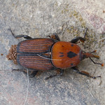 Red palm weevil 2 thumbnail
