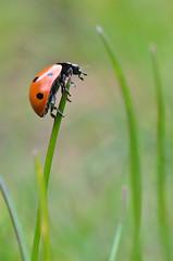The Acrobat (JonTaylor71) Tags: red macro green grass closeup bug garden 50mm nikon beetle explore ladybird ladybug 50mmf18 blackspots raynox bugmacro ladybugmacro explored raynoxdcr250 ladybirdcloseup macromondays bugcloseup ladybirdmacro d7000 ladybugcloseup nikond7000