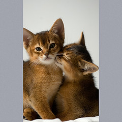 Two Abyssinian Kittens 2 (peter_hasselbom) Tags: cats cat kitten flash kittens litter usual abyssinian 8weeksold 105mm ruddy twocats 2cats 1flash 2kittens