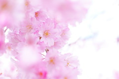 Lovely pink (gyrokei) Tags: pink flower japan cherry spring sony sakura onwhite