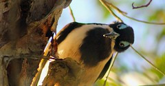 Blue Faced Honey Eater (J4C1ND4) Tags: scarlett birds butterfly wings dragonfly moth feathers butterflies australia juvenile redlands waders shorebirds southeastqueensland
