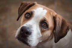 EyeOfA_Princess_003 (Kenneth_W_Martin) Tags: dog pet animal canon puppy princess sigma pitbull boxer t1i