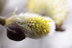 DSC_0010 - Male willow  catkin (SWJuk) Tags: uk england macro home closeup canal spring nikon lancashire willow catkin towpath burnley 2014 willowcatkin d90 nikond90 60mmmicrolens swjuk mygearandme mar2014