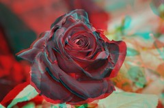 3D  () Tags: rose 3d rosa  rosarugosa   blacklady rosahybrida