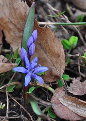 spring life (christiaan_25) Tags: signs flower green nature leaves petals spring purple blossom ground growth bloom buds alive wildflower scilla siberiansquill