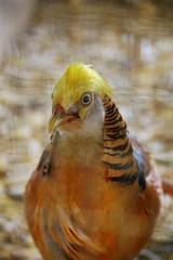Guldfasan (Benny Hnersen) Tags: de golden pheasant goldener april fredericia oro 2014 pictus fasan chrysolophus faisn madsbypark guldfasan