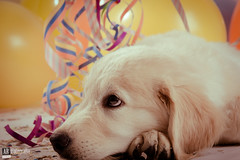 Mirada cautelosa (ARFotografia.) Tags: party dog cute art colors beauty composition canon balloons studio photo funny flickr photoshoot venezuela pic estudio perro doggy sesion perrito ligthroom canoneos60d visico arfotografia