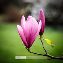Magnolia (doublejeopardy) Tags: cornwall magnolia nationaltrust flowersandplants trelissick