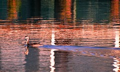 il dipinto d'acqua (Imad Z. الجبوري) Tags: sea italy reflection bird nature water colors birds animal zeiss painting lago duck mare photographer sony natura carl imad acqua colori animale fotografo العراقي uccello riflesso الطبيعة anitra dipinto volatili عماد مصور سوني iracheno zebala كارل زايسitalia ​​lake
