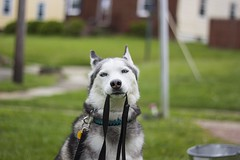 Loyalty (Siberian Forest Photography) Tags: dogs training husky sage siberianhusky obedience akc