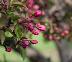 Cantigny 15 (Jan Crites) Tags: park flowers nature gardens illinois spring nikon bloom botanic wheaton blooming cantigny d600 cantignygardens jancritesphotography