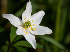 Wood Anemone Close Up (davepickettphotographer) Tags: wood trees white flower macro nature closeup woodland spring woods naturalhistory anemone naturalworld cambridgeshire brampton huntingdon macrophotography woodlandtrust esystem em5 olympuscamera woodlandflower huntingdonshire bramptonwood bramptonwoods