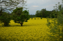 Fields Of Gold [Vicenza - 12 April 2014] (Doc. Ing.) Tags: flowers italy yellow vi vicenza 2014 veneto nordest rapeflowers