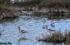 Focus on the American Avocet - Rush Creek Open Space (Dunby PICS) Tags: county creek open space marin american rush novato avocet