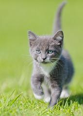 'Mittens' aged 8 weeks (Jonathan Casey) Tags: nikon kitten lawn f2 vr 200mm vr1 d810