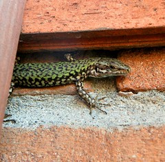 Lizard (REBEL--) Tags: bridge venice camp italy english beach italian san lizard bologna ferrara sighs remo tutor senza frontiere lsf lingue porotto