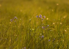 In the meadow (joeke pieters) Tags: flowers light insect licht ngc meadow npc dreamy wei bloemen dromerig platinumheartaward panasonicdmcfz150 1270220