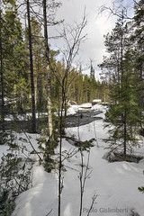 Torrente in foresta, torrent in the forest (paolo.gislimberti) Tags: wood trees snow alberi forest finland landscapes neve paesaggi thaw conifers finlandia bosco foresta conifere disgelo primaverafinlandese finnishspring