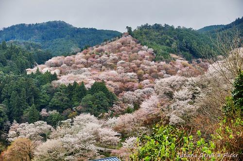 Yoshinoyama hills in April
