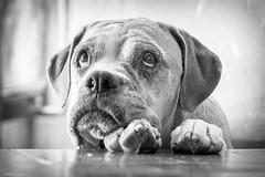 Olhar (Vinicius_Ldna) Tags: brazil dog cute face look canon 50mm expression naturallight care caress londrina 1269