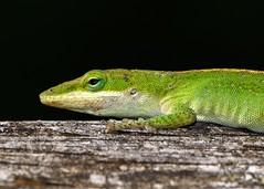 My Friend the Anole (Maggggie) Tags: green outside backyard lizard anole