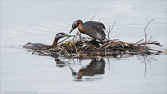 Red-necked grebe Nest (Raymond J Barlow) Tags: family bird nest wildlife workshop grebe phototour rednecked raymondbarlow