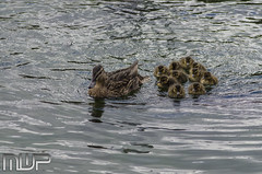 DSC_3095 (mikewarnerphotography) Tags: duck grove ducklings carshalton mwp