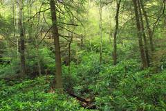 Hypsy Creek (11) (Nicholas_T) Tags: trees nature forest spring hiking pennsylvania rhododendron creativecommons poconos ravine monroecounty stategamelands38 stategameland38 sgl38 hypsycreek hypsygap