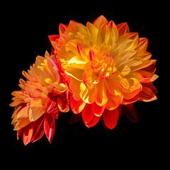 Dahlien (berndtolksdorf1) Tags: red flower rot yellow licht flora natur gelb bloom hintergrund dahlien schwarzer gartenblumen