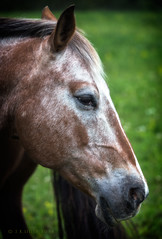 Fuzzy Nose (Western Maryland Photography) Tags: horse maryland alleganycounty mountsavage ef70300mmf456isusm canoneos6d