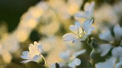 White flowers at sunset (* mariozysk * (off for a while)) Tags: sunlight petals pentax k5 61 industar ♡ słoneczne światło płatki mariozysk