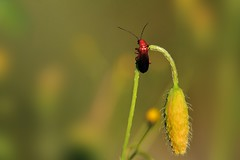 Rhagonycha fulva (luporosso) Tags: red naturaleza macro verde green nature closeup bug insect nikon natura bugs poppy rosso insetto insetti papavero buz naturalmente abigfave nikond300s